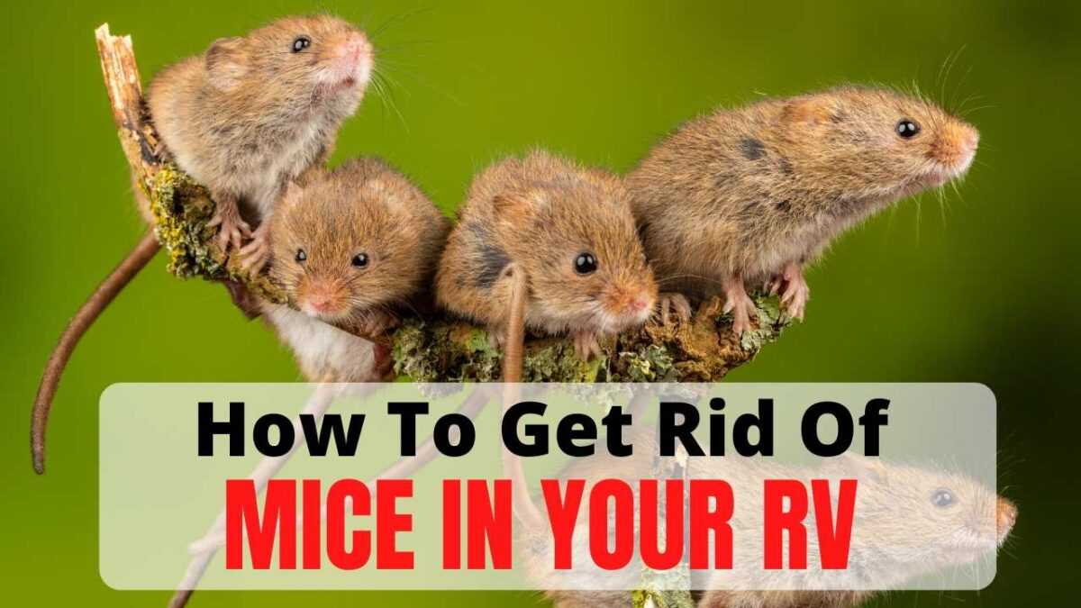 RV Mice – Learn How To Get Rid Of Them For Good!