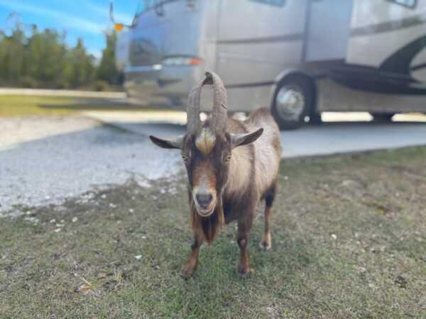 Our visit by a goat at Azalea Acres RV Park